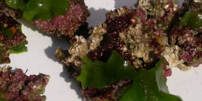 A sample of green algae collected from the Gulf of Mexico.