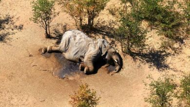 Photo of Botswana probes mystery deaths of at least 275 elephants