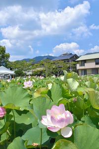 高知)初夏の風に大きなハスの花そよぐ 土佐市:朝日新聞デジタル