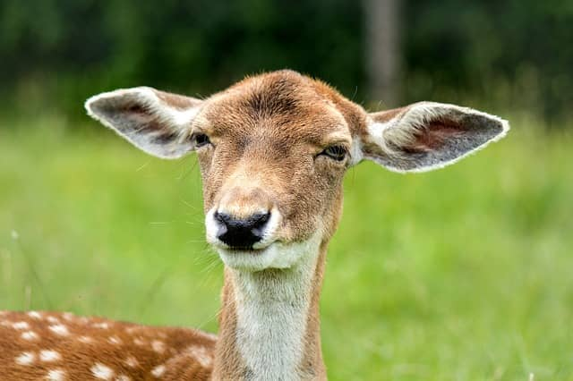 confusion of a deer