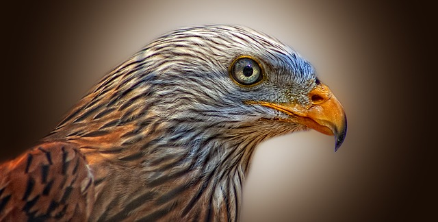 Red kite with a piercing gaze