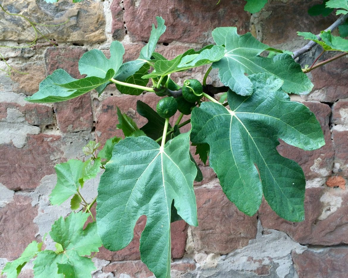 Fig tree against a wall