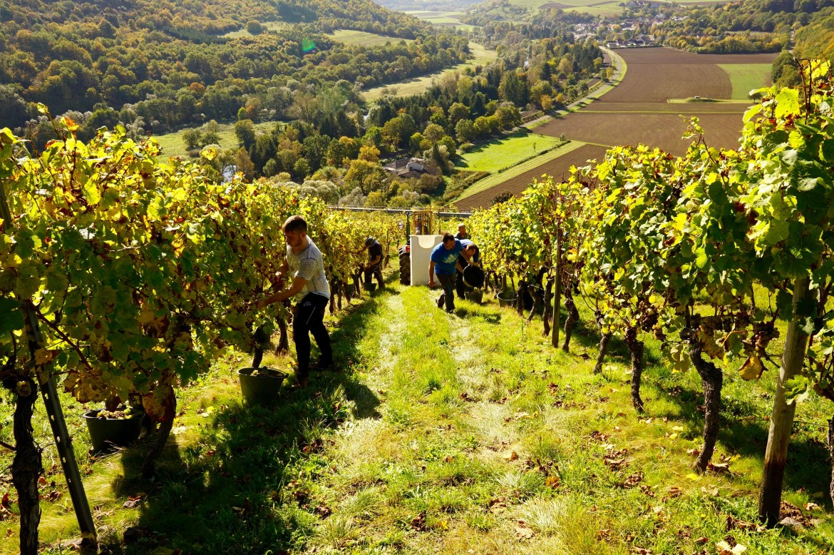 Vineyards in the Nahe wine region of Germany with people picking grapes