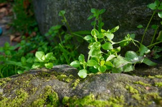 Stellar media (common chickweed) growing on some stones