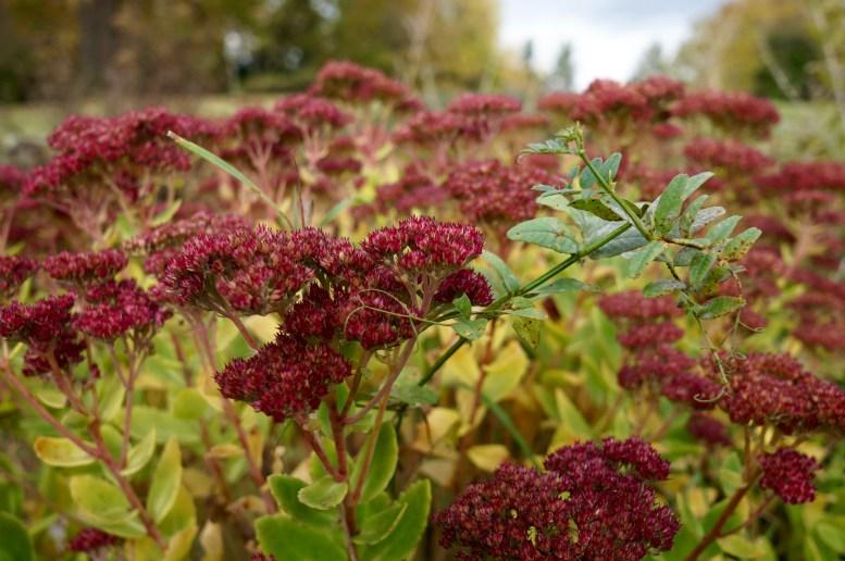 A bush of dark red Sedum telephium