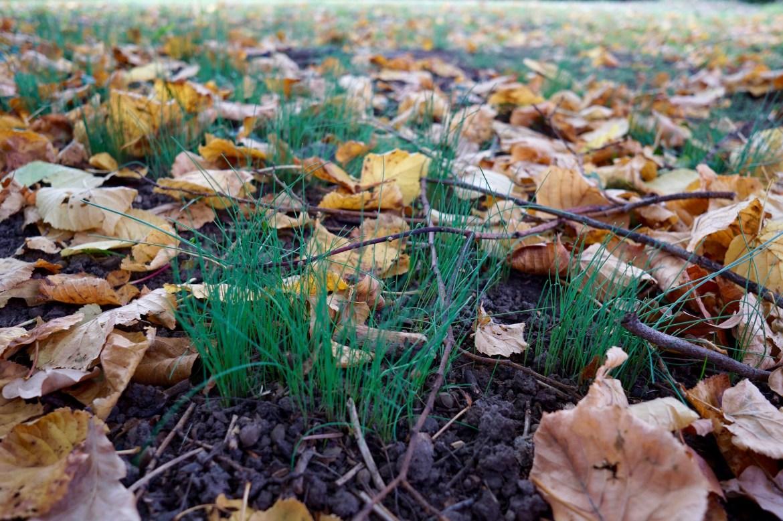 Allium Lineale growing amongst dead leaves beneath a tree