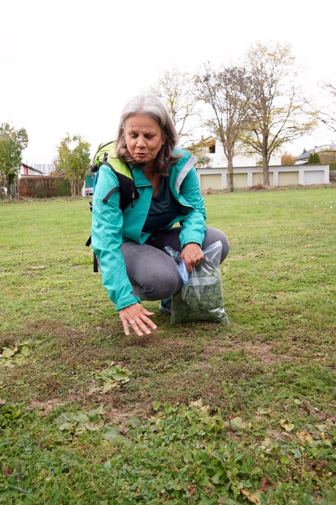 Horticultural Scientist Christine Volm collecting lemon thyme in a park