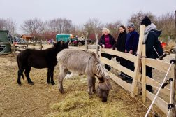 Two donkeys in a small field being watched by three people in winter