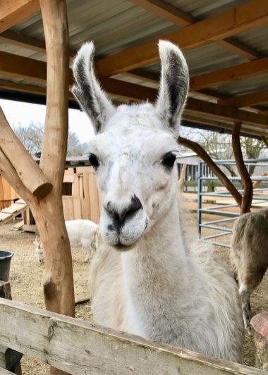 Portrait of a white llama at a farm