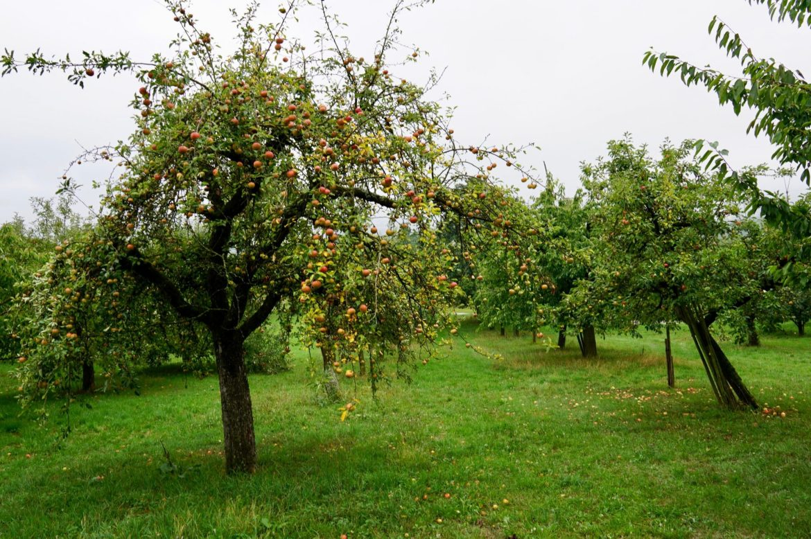 A green, wet apple orchard