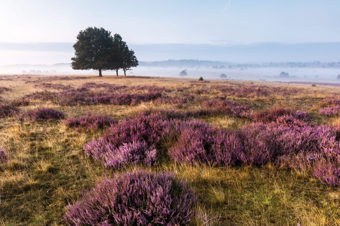 View of Lüneburg Heath covered in purple heather with mist