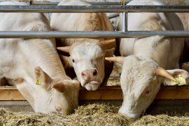 Three white cows eating hay at Domäne Mechtildshausen