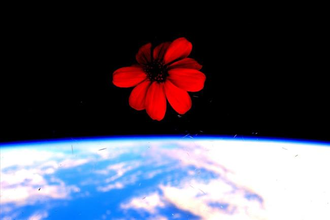 One of the firsts flower grown in space