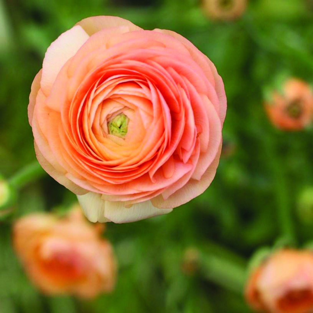 2020 ASCFG Bulb CFY - Cut Flowers of the Year