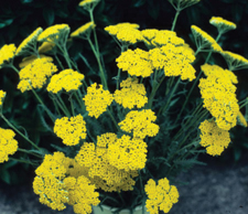 Achillea Coronation Goldâ™ - 2009 Cut Flowers of the Year