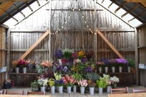 Ardelia flowers in buckets - Ardelia flowers in buckets