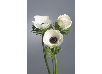 Bulb Cut Flower of the Year image - Cut Flowers of the Year