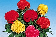 Chief series Celosia - 2002 Cut Flowers of the Year