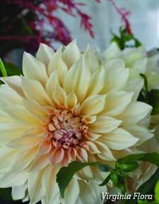 Dahlia Café au Lait image - 2017 Cut Flowers of the Year