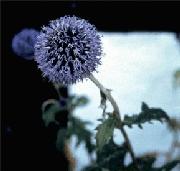 Echinops ritro - 2000 Cut Flowers of the Year