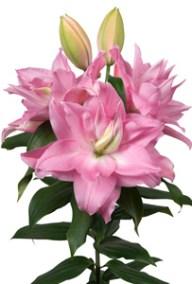 Editha - Zabo Plant
