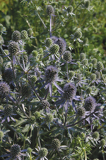Eryngium Blue Glitter - 2008 Cut Flowers of the Year