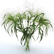 Panicum Frosted Explosion - 2010 Cut Flowers of the Year