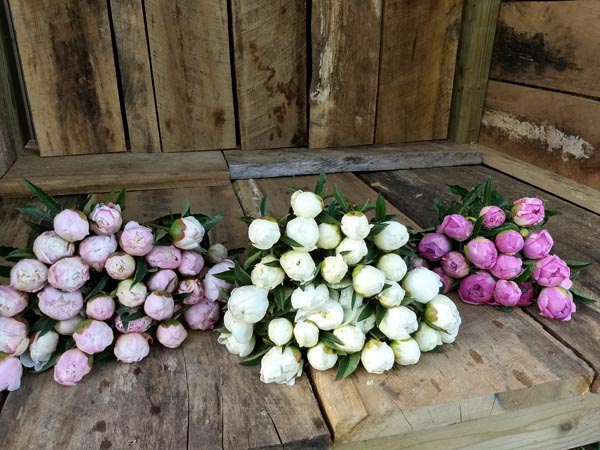 Current Management and Research on Cut Peonies Webinar