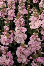 Stock Katz Cherry Blossom - 2013 Cut Flowers of the Year