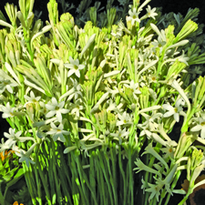 Tuberose Mexican Single - 2016 Cut Flowers of the Year