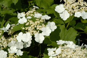 Viburnum Wentworth - 2012 Cut Flowers of the Year