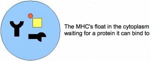 mhc-1-2