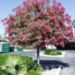 nerium_oleander_tree
