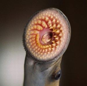 Sea Lamprey Smiles for the Camera