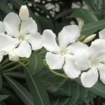 white-oleander
