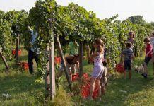 Vendemmia ad Ascoli, foto d'archivio