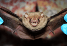 Bat virus has to do something with the evolution of the Covid-19 virus, according to Laotian study.