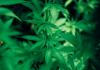 Marijuana plant (Michael Fischer/Pexels)