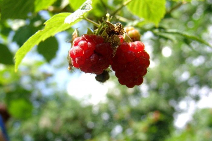 Raspberry cerca