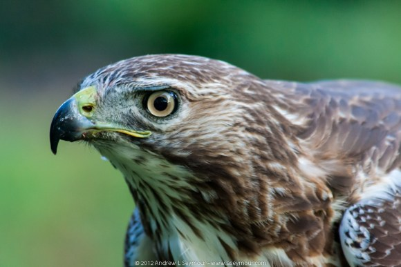 Immature Red-tailed Hawk 083 - Head Detail