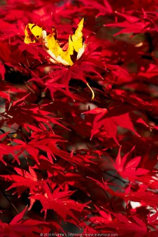 Red Japanese Maple Leaves (Fall 2010)