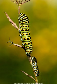 Swallowtail Butterfly larvae