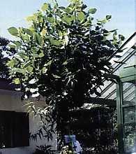 Khasiat Obat dan Manfaat dari Pohon Dadap Serep
