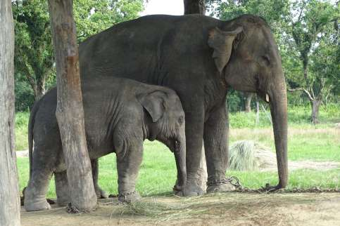 Elephant breeding farms at Chitwan Nationalpark.