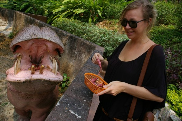 Hungry hippos at the chiang mai zoo
