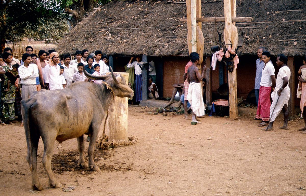 Das traditionelle Büffelopfer der ethnischen Gruppe derMaliah Kandh (Foto: C.M. 1996)