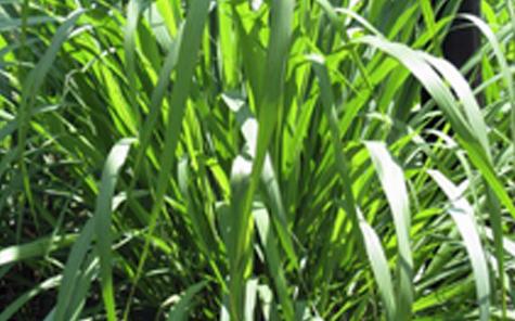 lemongrass beauty benefits