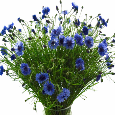 Flowers-by-Season-March-Cornflower