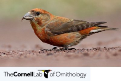 resources for birding CornellLab of Ornithology