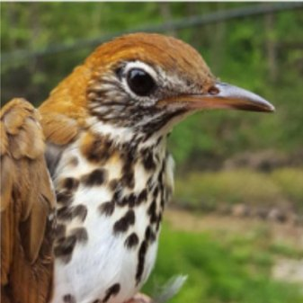 Endangered Wooden Thrush because of coffee farming